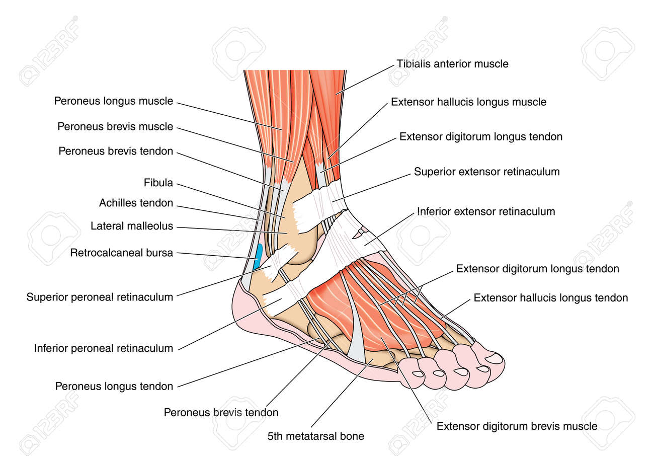 tendons and muscles of the foot and ankle including the bones attachments  and retinaculae  created