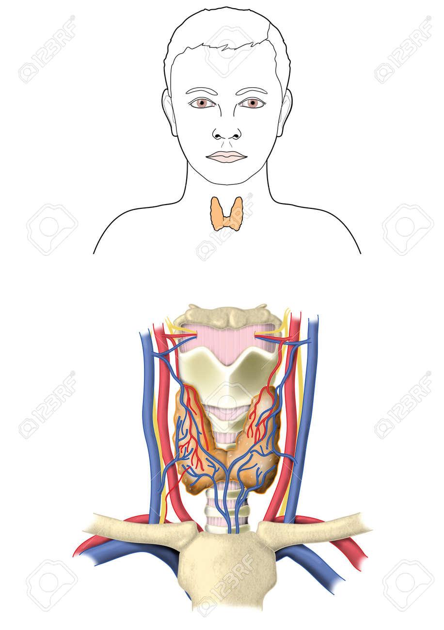 Ubicación Y Anatomía Relativa De La Glándula Tiroides Que Muestra El ...