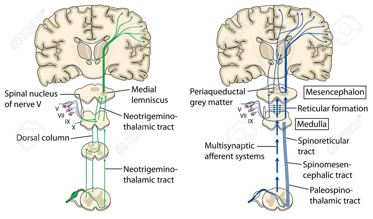 Verschiedenen Schmerzbahnen An Das Gehirn über Das Rückenmark ...