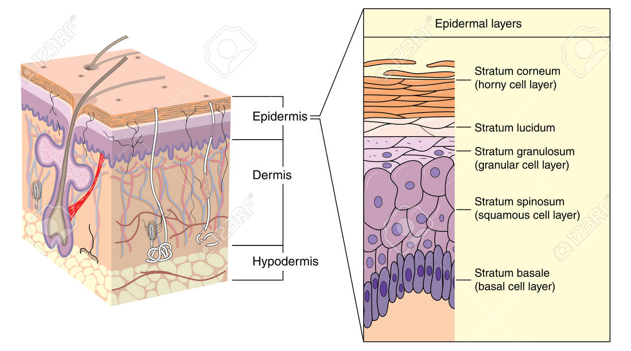 Cross Section Through Skin Showing The Various Layers Of The