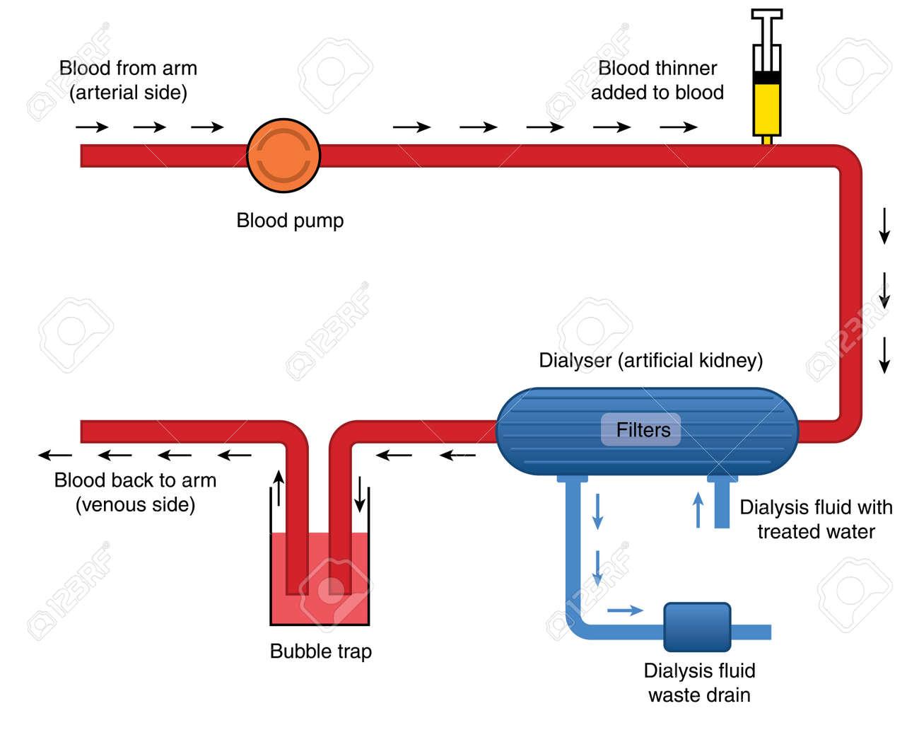 Großartig Blutfluss Anatomie Zeitgenössisch - Menschliche Anatomie ...