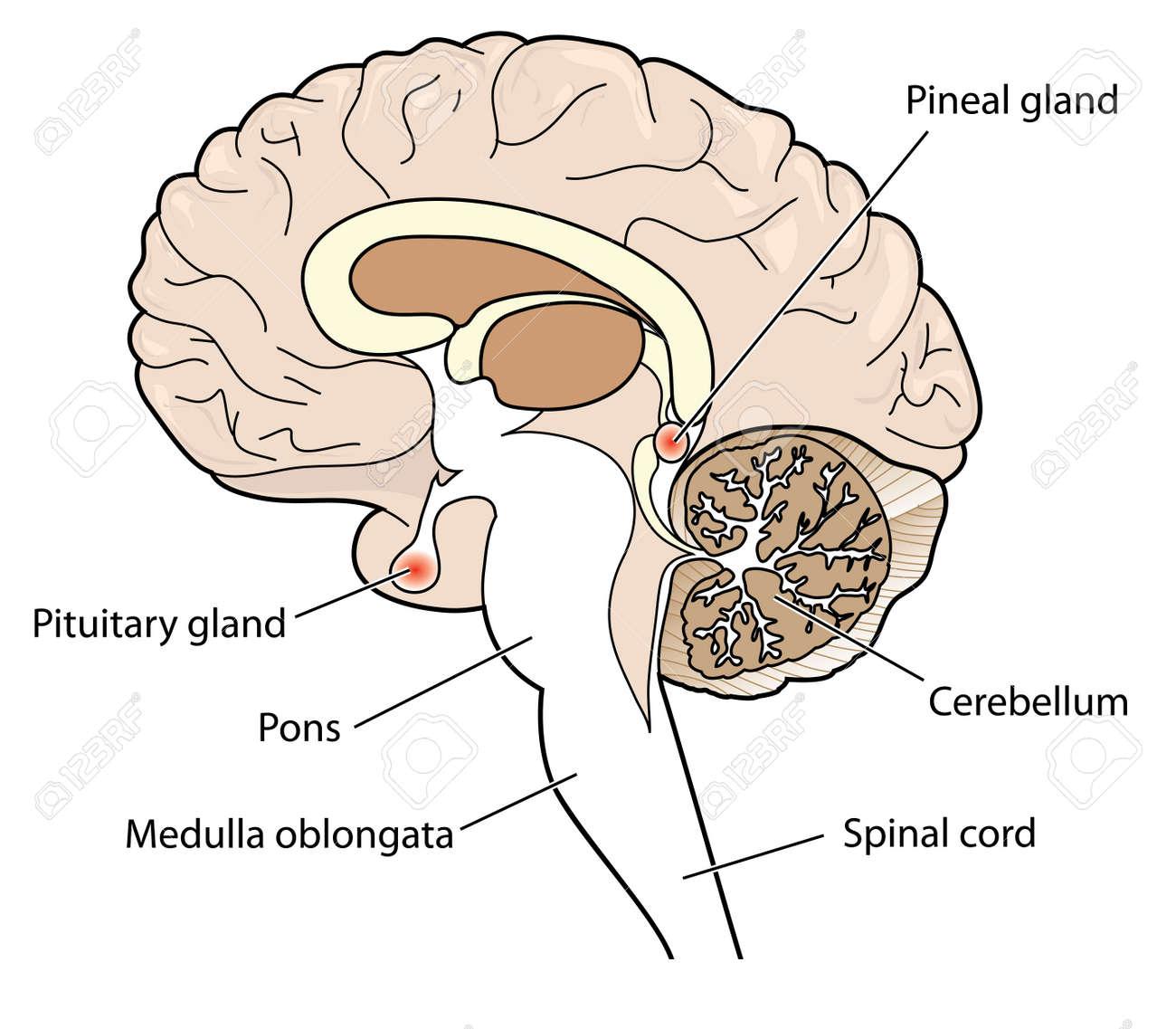 Querschnitt Des Gehirns, Welche Die Hypophyse Und Die Zirbeldrüse ...