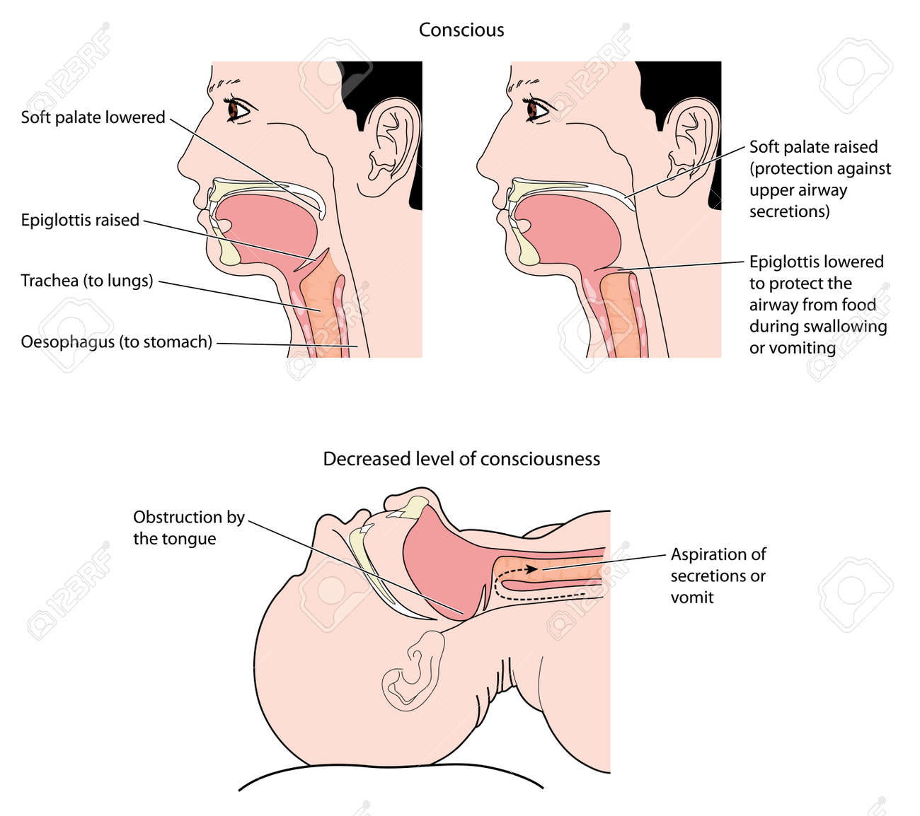 Cross Section Of The Mouth And Throat, Showing Action Of The ...
