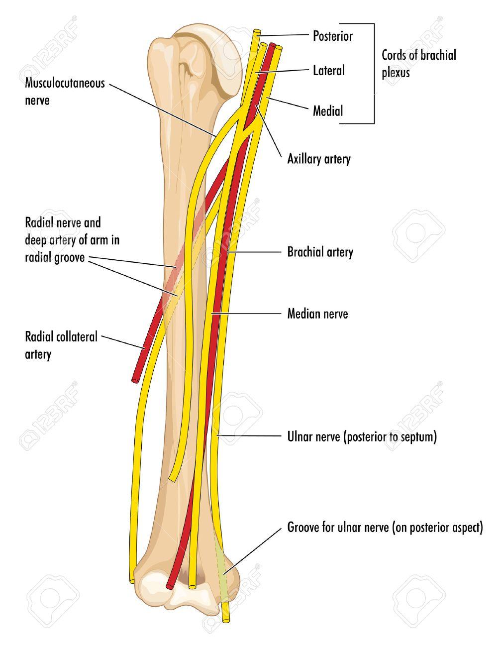 Los Principales Nervios Y Arterias De La Parte Superior Del Brazo ...