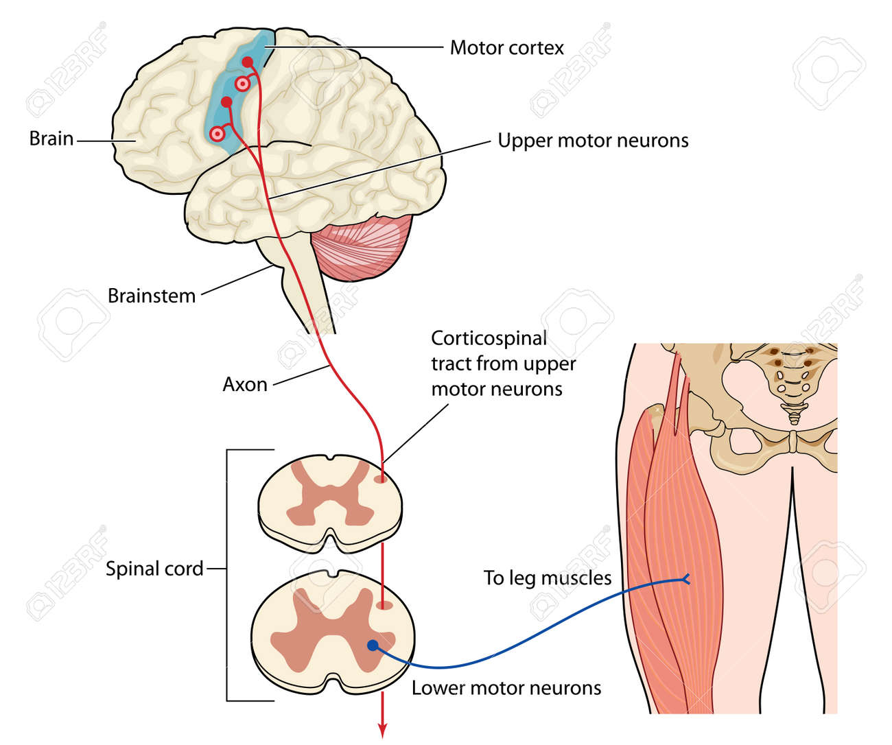 Motor Nerves Originating In The Leg Muscles Traveling Via The ...
