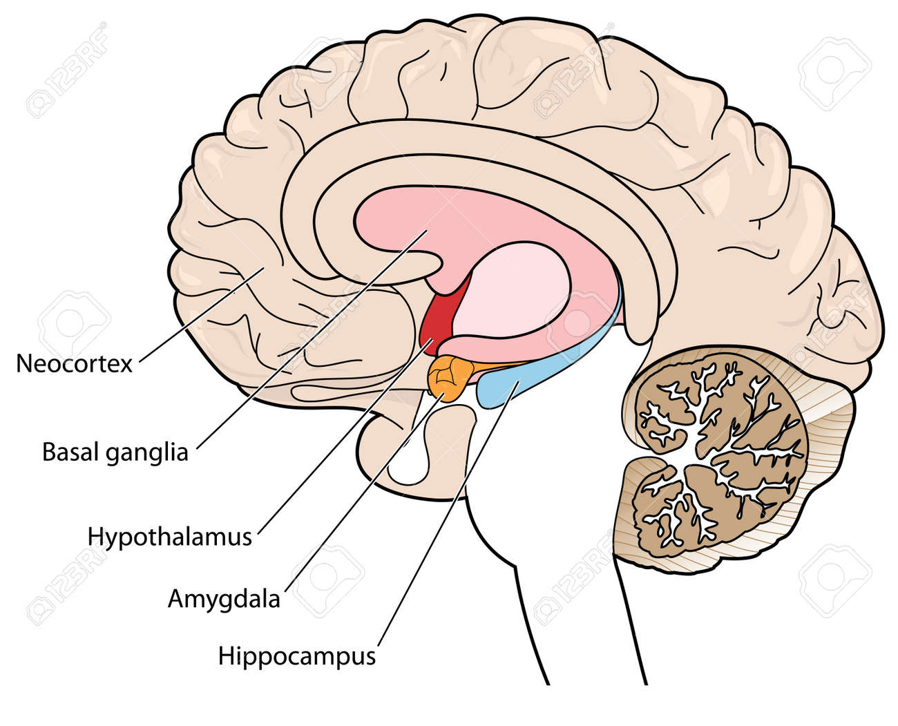 The Brain In Cross Section Showing The Basal Ganglia, Hypothalamus ...