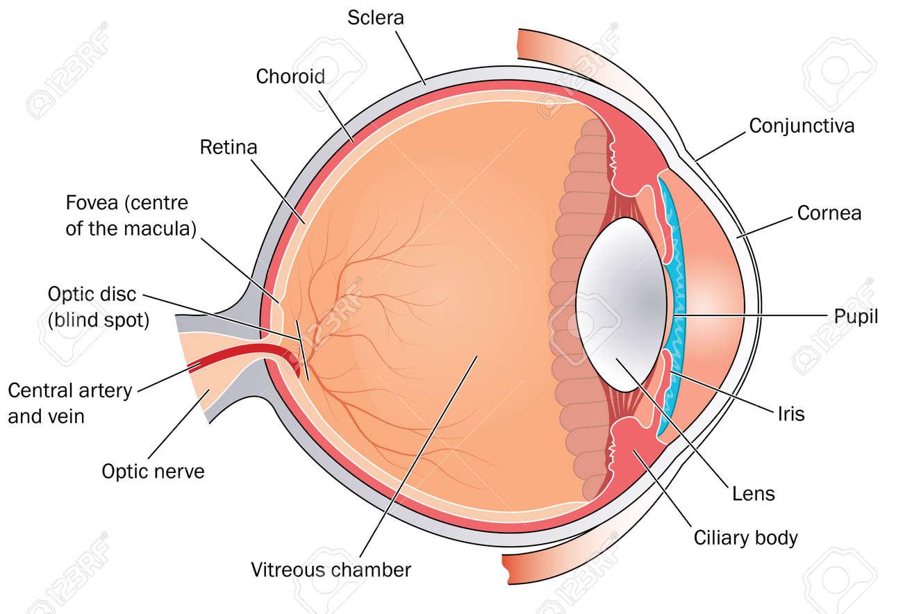 Querschnitt Durch Das Auge, Die Den Hauptstrukturen, Kammern Und ...