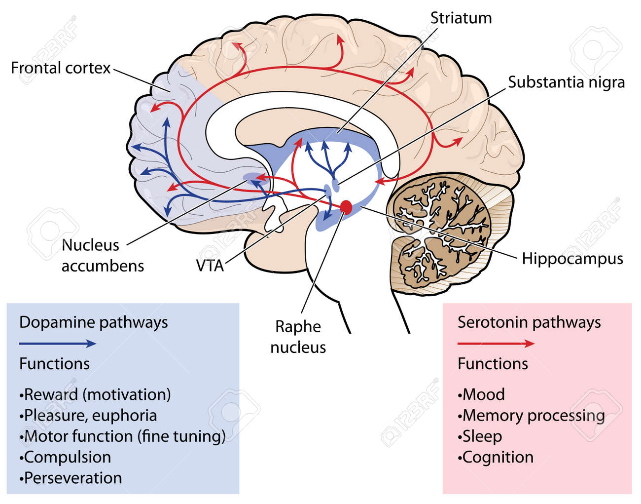Cross Section Through The Brain Showing The Dopamine And Serotonin ...