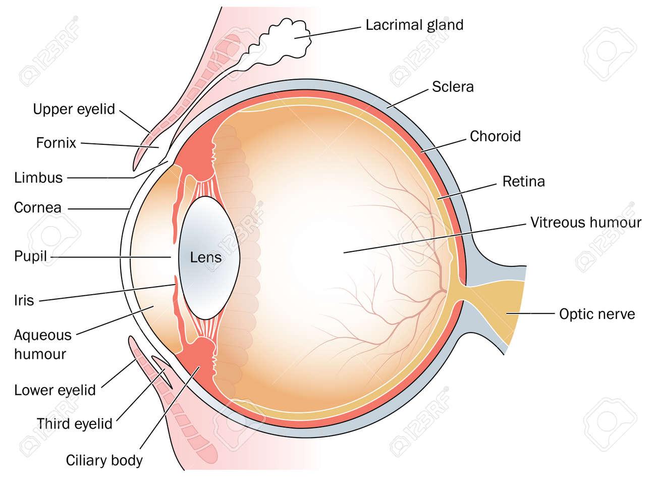Dibujo Médica Para El área De Los Ojos Ilustraciones Vectoriales ...