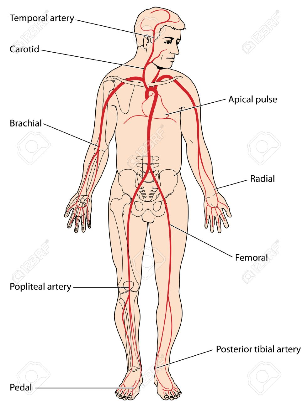 The Major Arteries And Pulse Points Of The Head, Arms And Legs ...