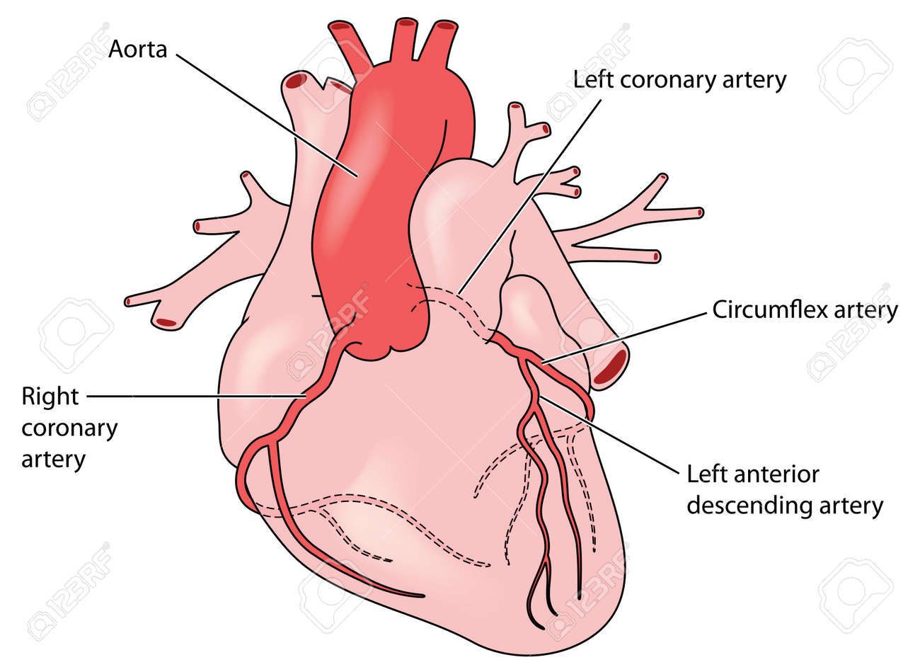 The Coronary Arteries Of The Heart, Anterior View, Including ...