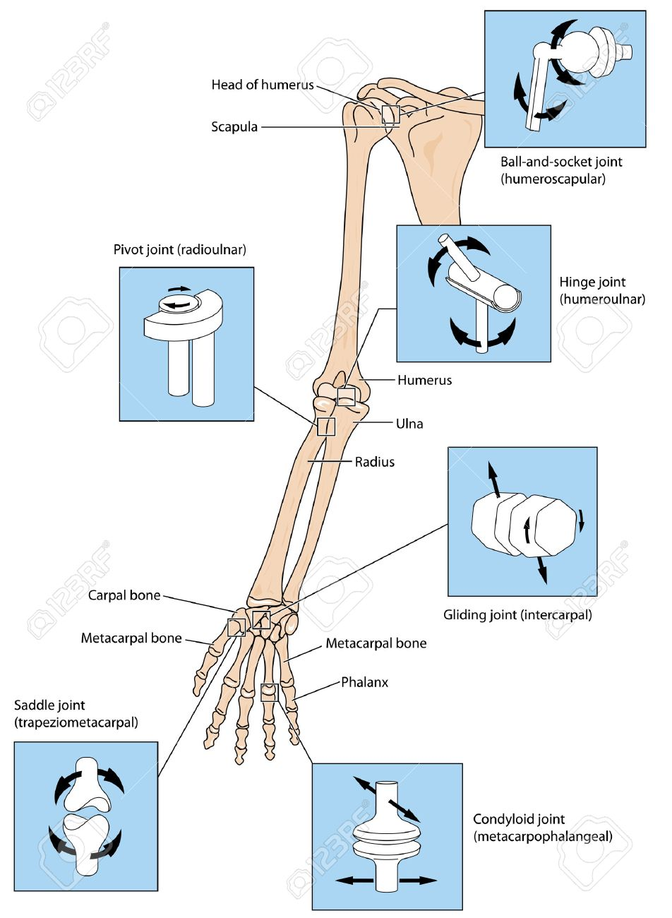 Various Types Of Joint Illustrated By The Joints Of The Upper