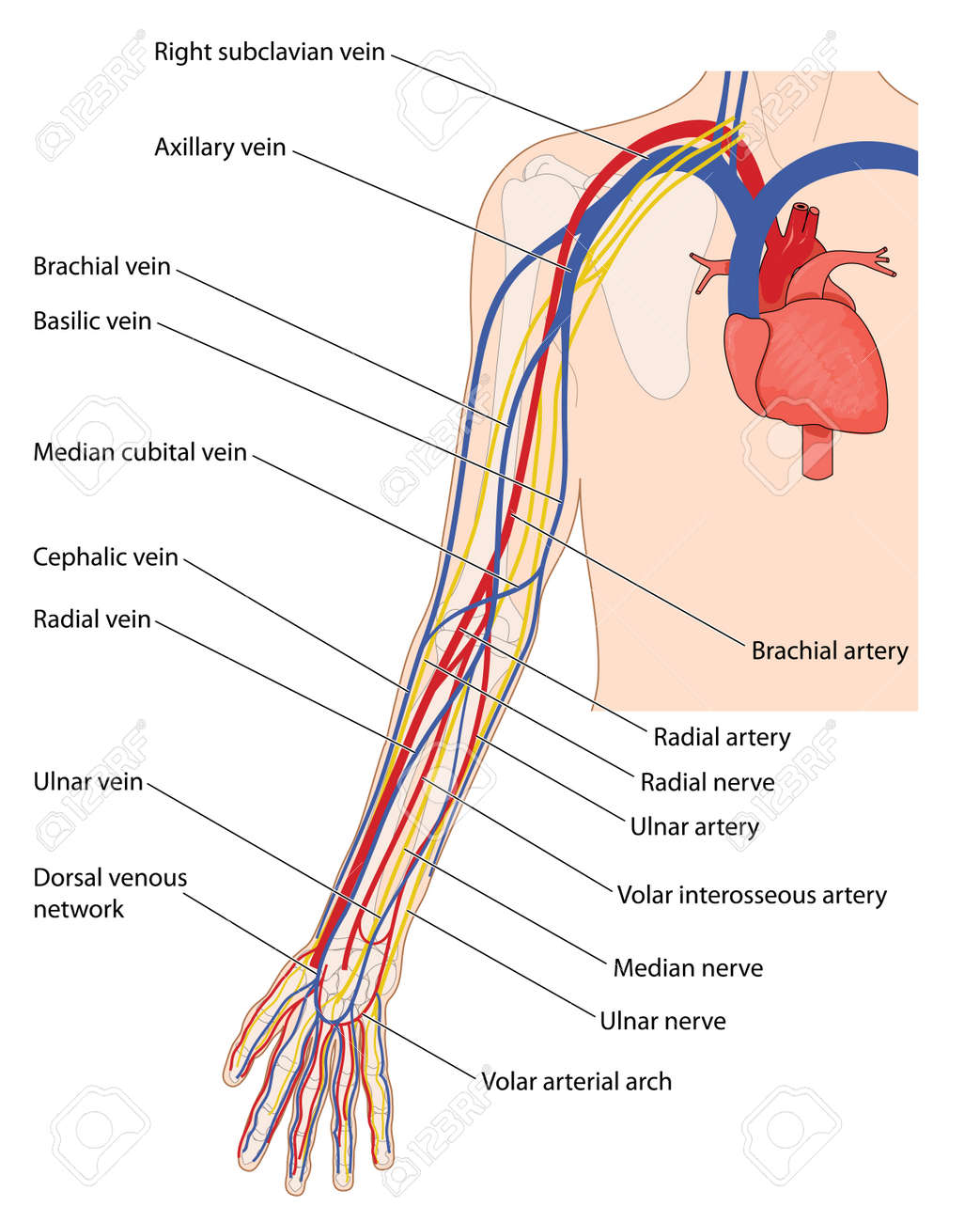 Arteries, Veins And Nerves Of The Arm, From The Heart Down To ...