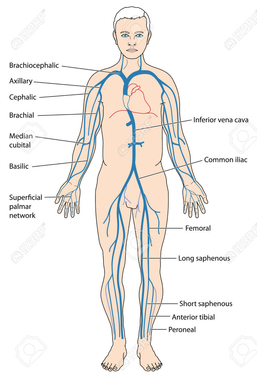 Venous Network, Showing The Major Veins From The Periphery To ...