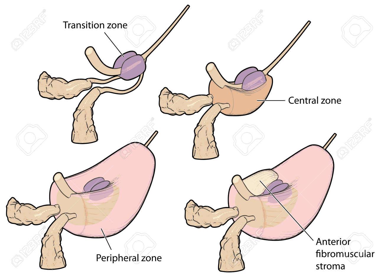 La Glándula De La Próstata Que Muestra Las Zonas Anatómicas En 3D ...