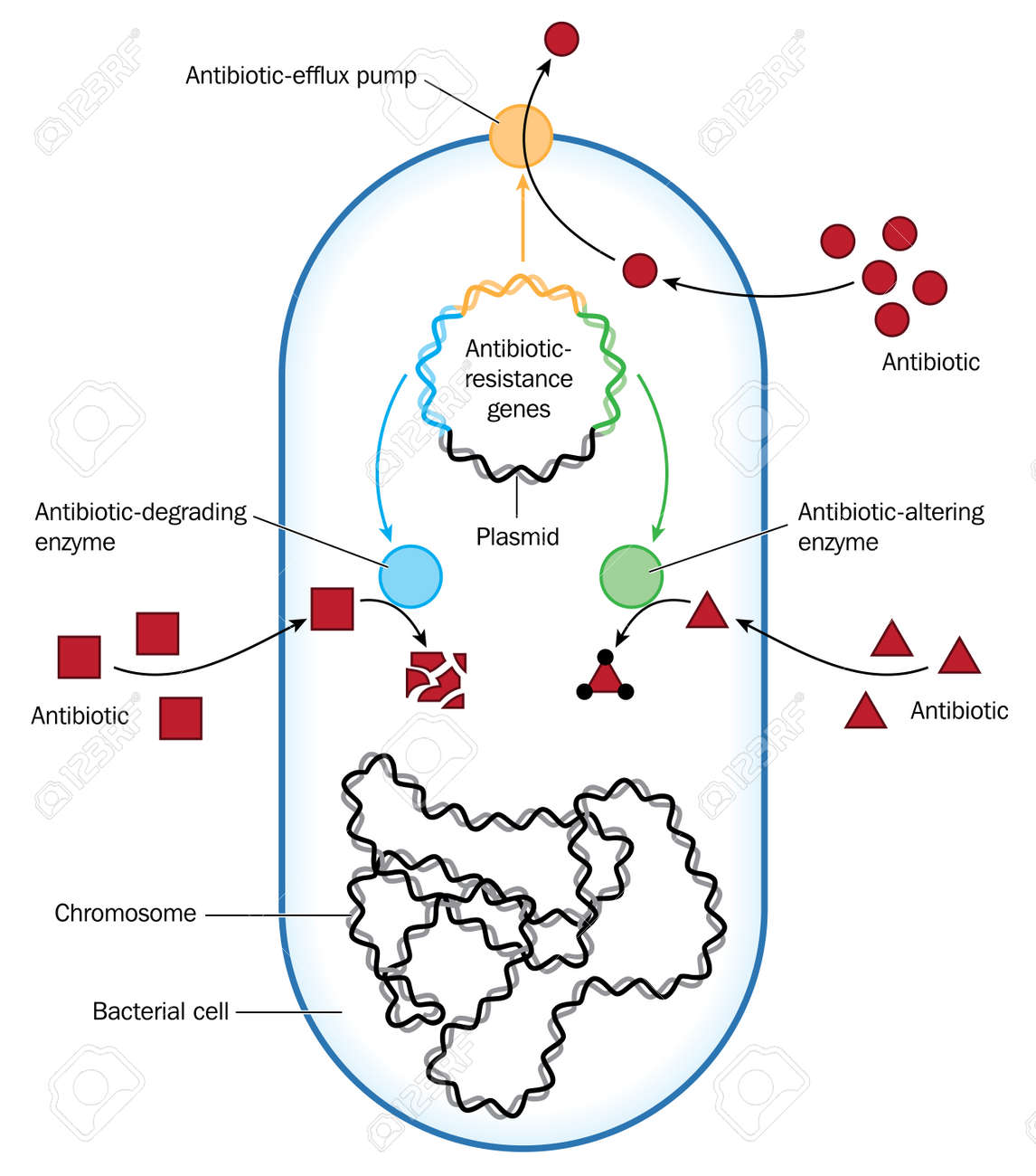 Bacterium showing methods of antibiotic resistance through efflux bacterium showing methods of antibiotic resistance through efflux or enzymes created in adobe illustrator pooptronica Images