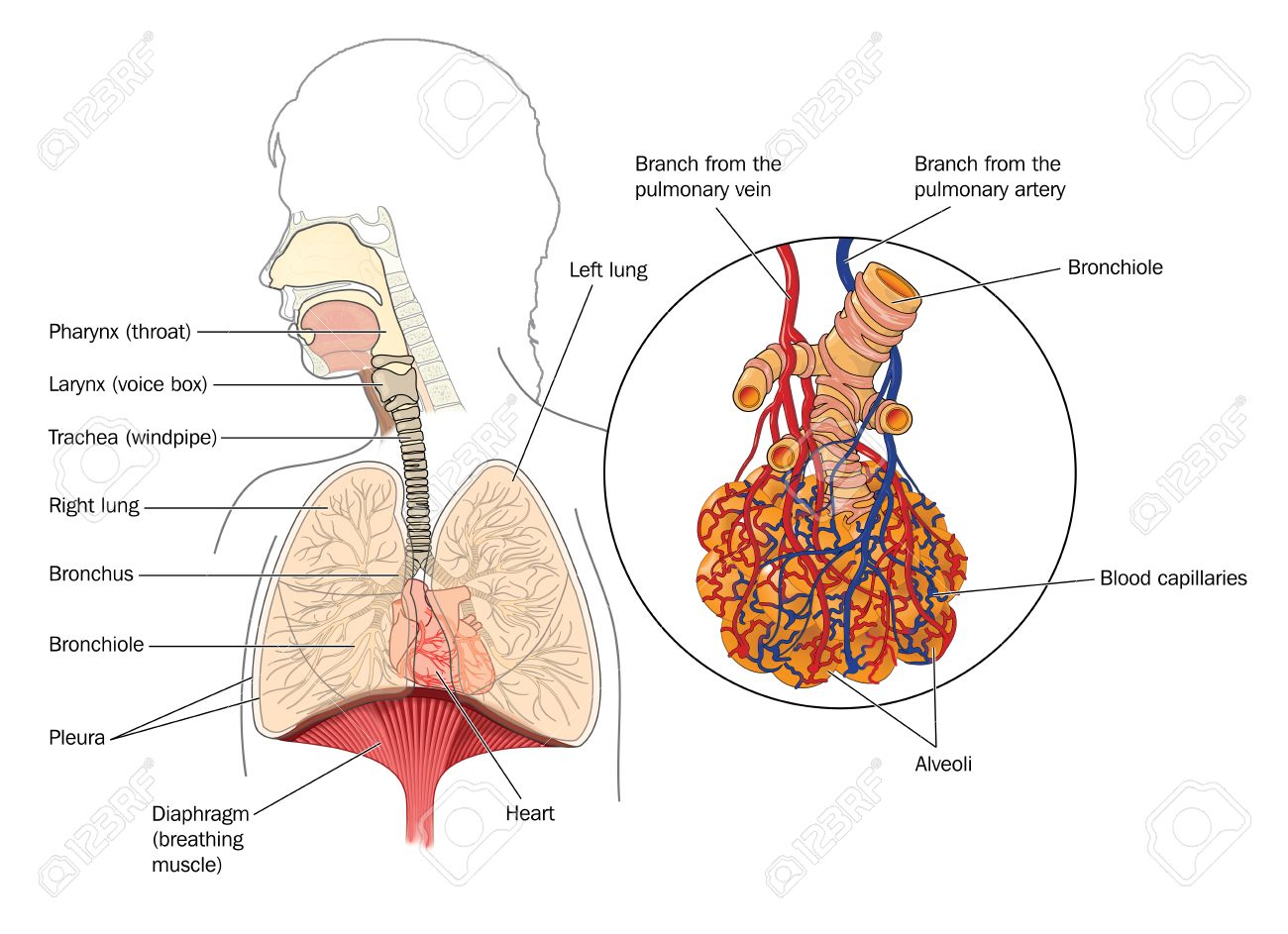 The Respiratory System From The Mouth To The Lungs With Detail ...