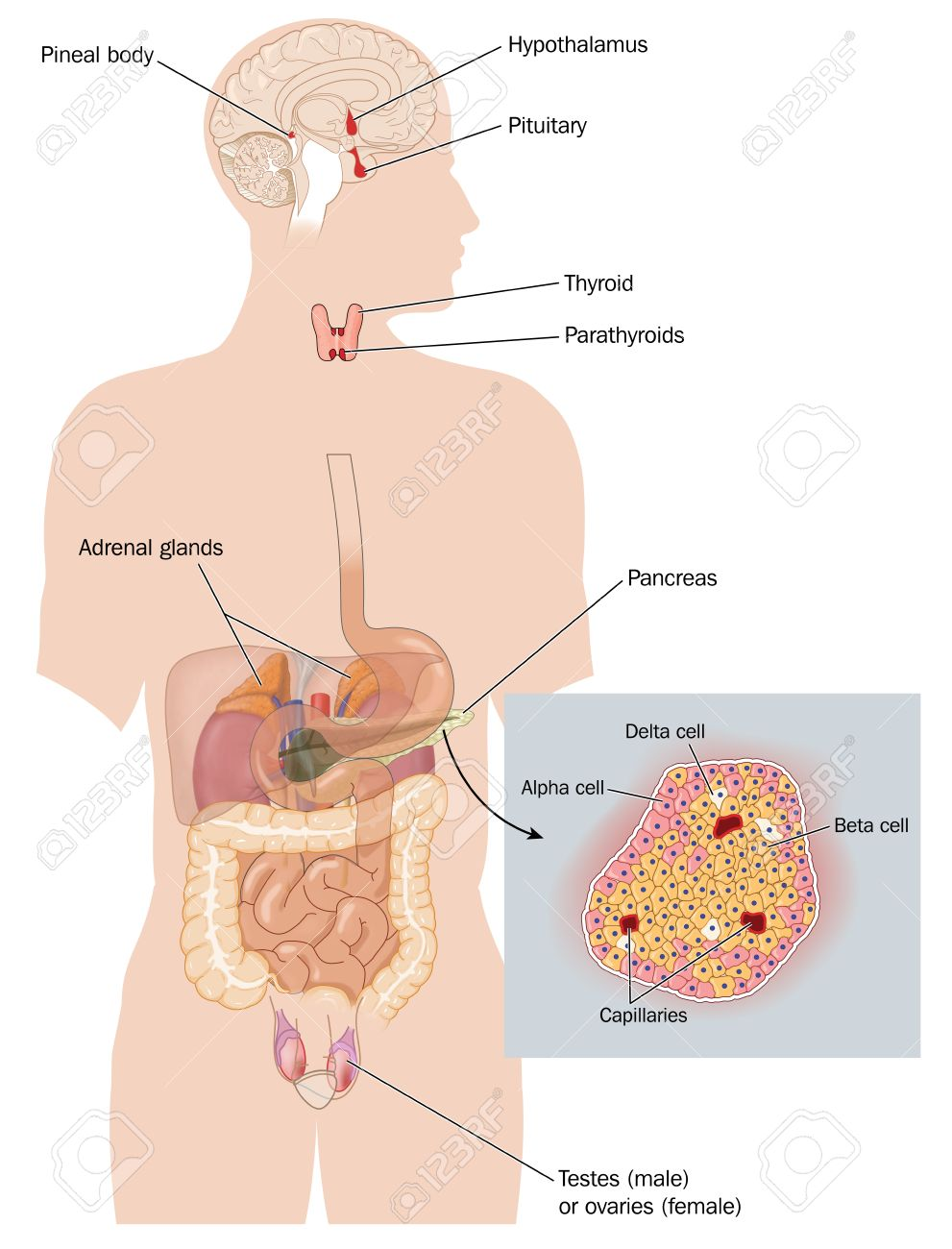 Organs That Form The Endocrine System And Sites Of Hormone