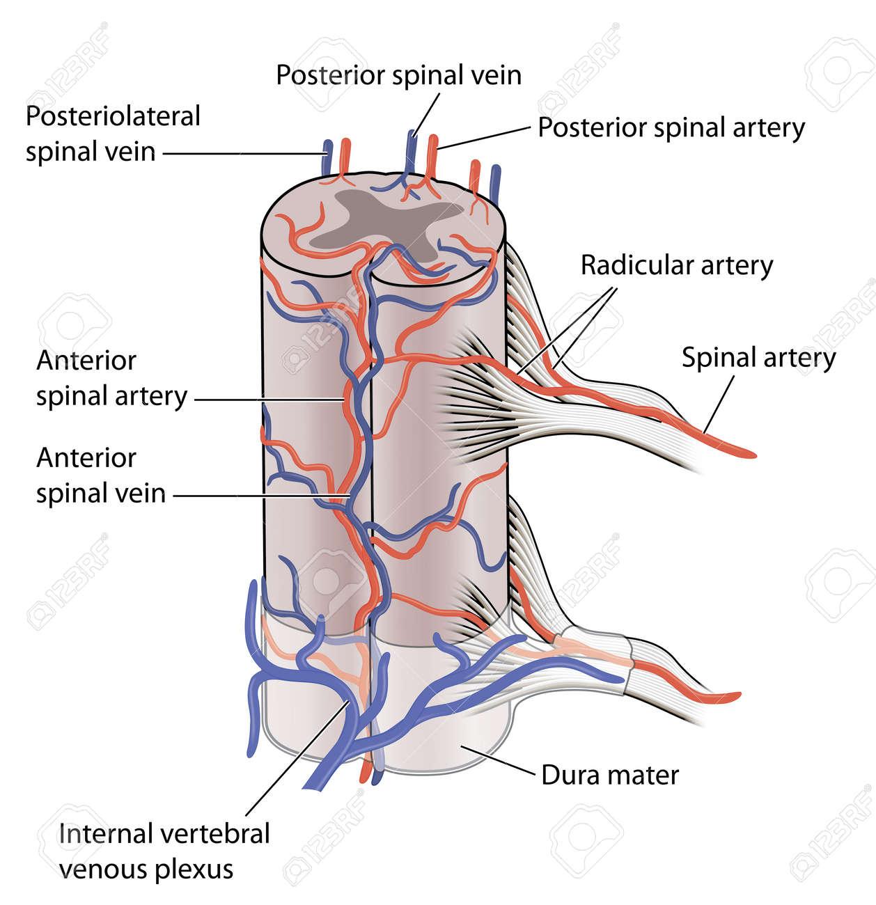 Groß Diagramm Venen Zeitgenössisch - Anatomie Und Physiologie ...