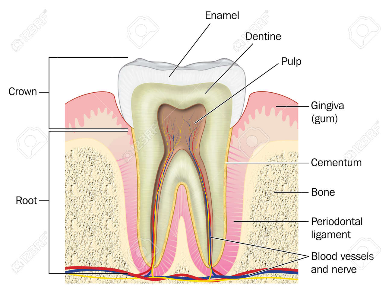 Periodontal ligament stock photos royalty free periodontal cross section through a molar tooth showing the crown and root plus the gum bone pooptronica
