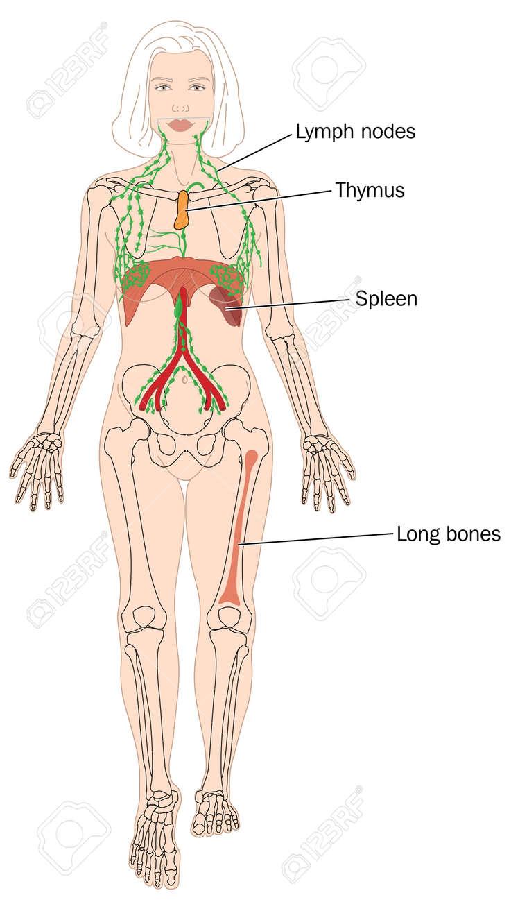 Standorte Der Blutzellproduktion, Einschließlich Des Knochenmarks ...