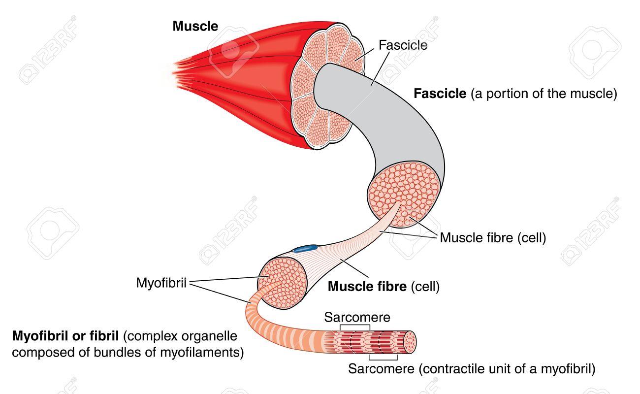 Anatomía De Un Músculo De Estructura Bruta Al Nivel De La ...