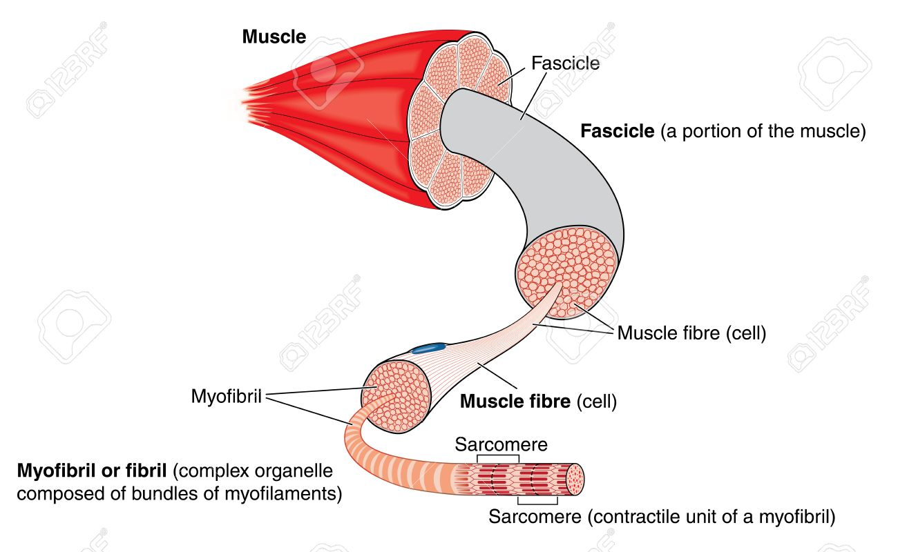 Anatomy Of A Muscle From Gross Structure To The Level Of The ...