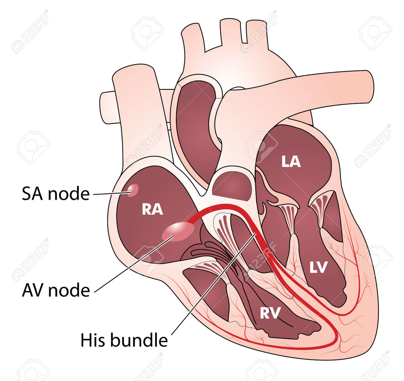 The Heart Showing The Electrical Conducting System Consisting ...