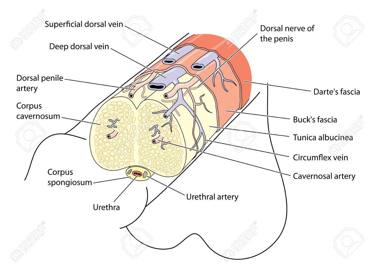 Anatomy Of The Penis Showing The Major Structures Blood Vessels