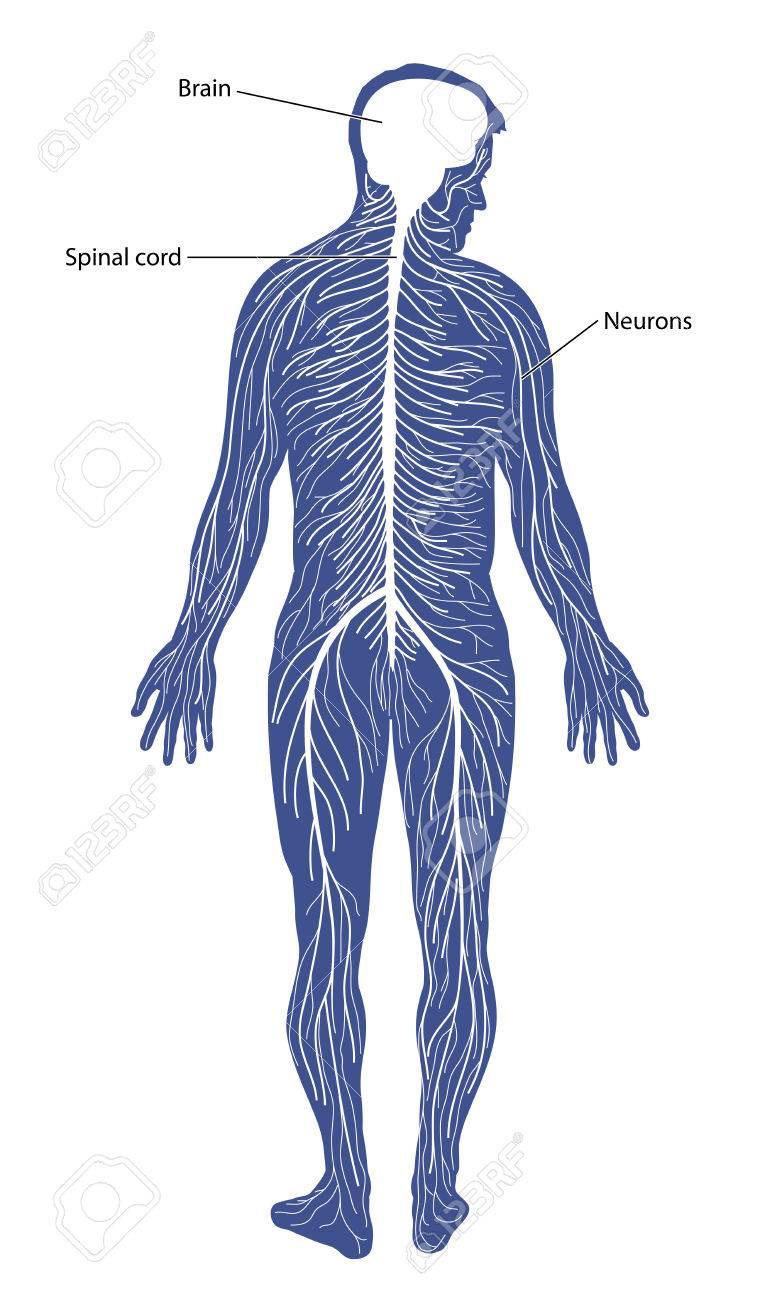 Schematische Darstellung Des Nervensystems, Bestehend Aus Gehirn ...