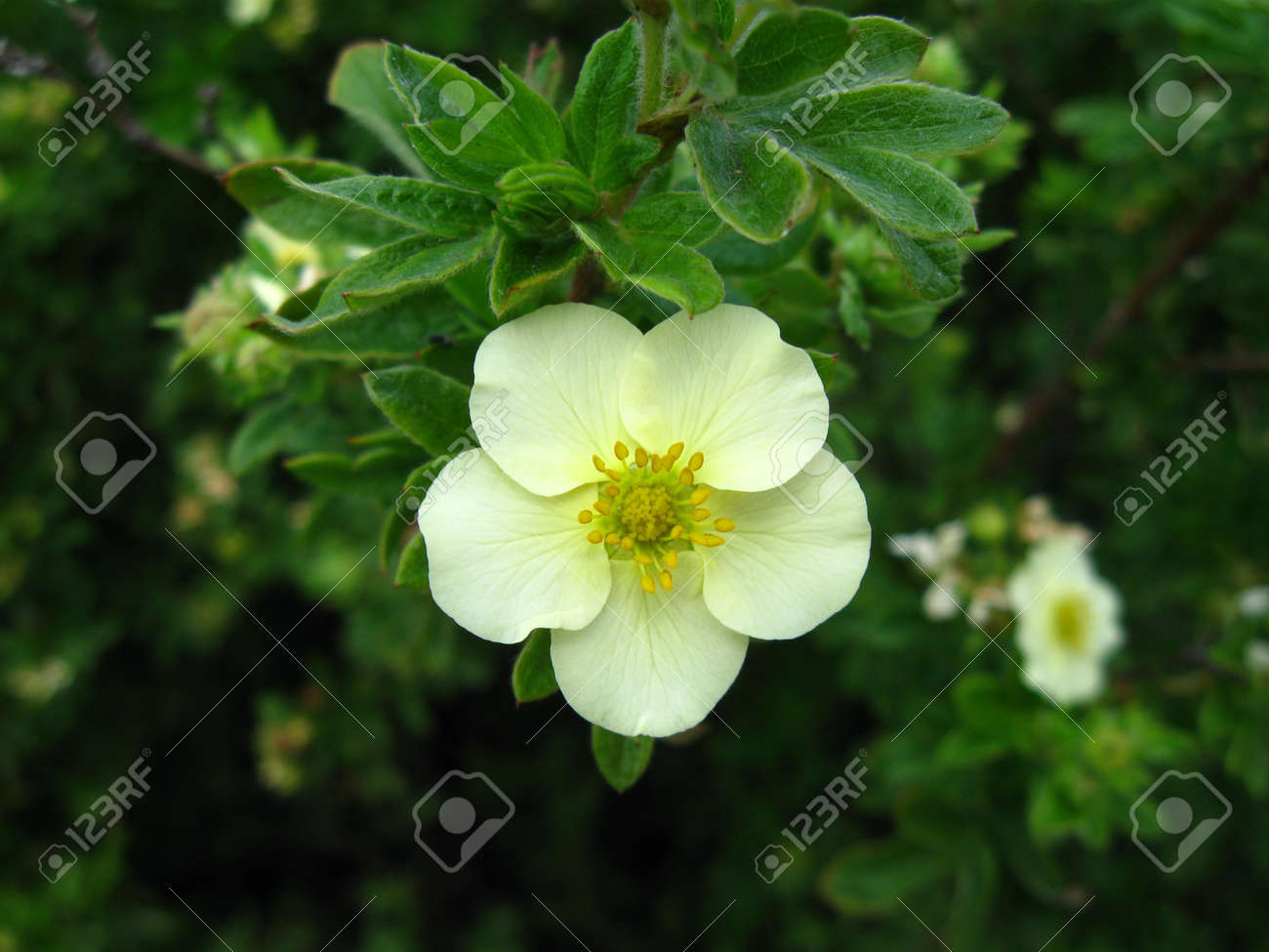 White Flower On A Tree With Five Petalscro Stock Photo Picture