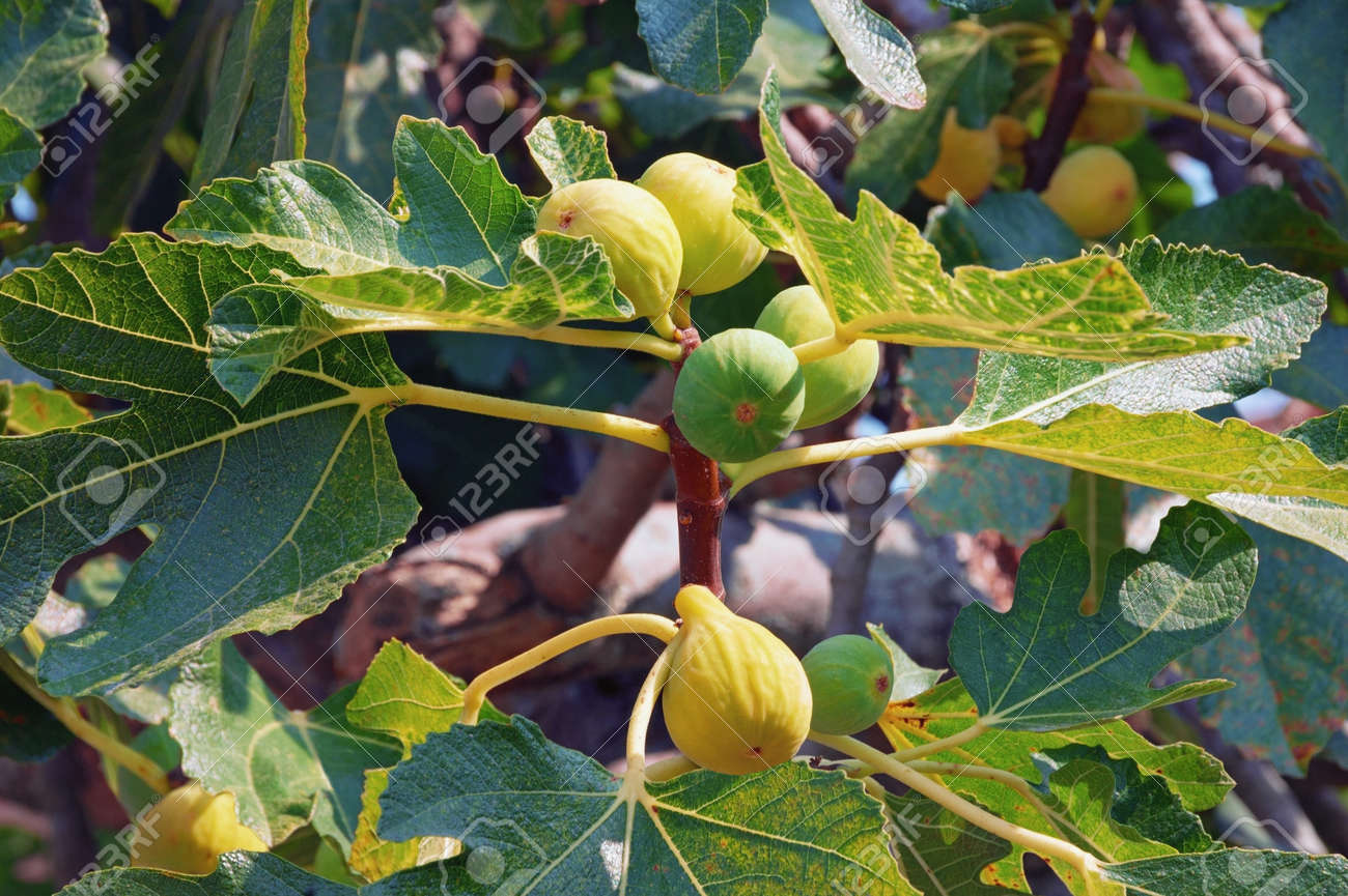 Branch Of A Fig Tree Ficus Carica With Leaves And Fruits Stock