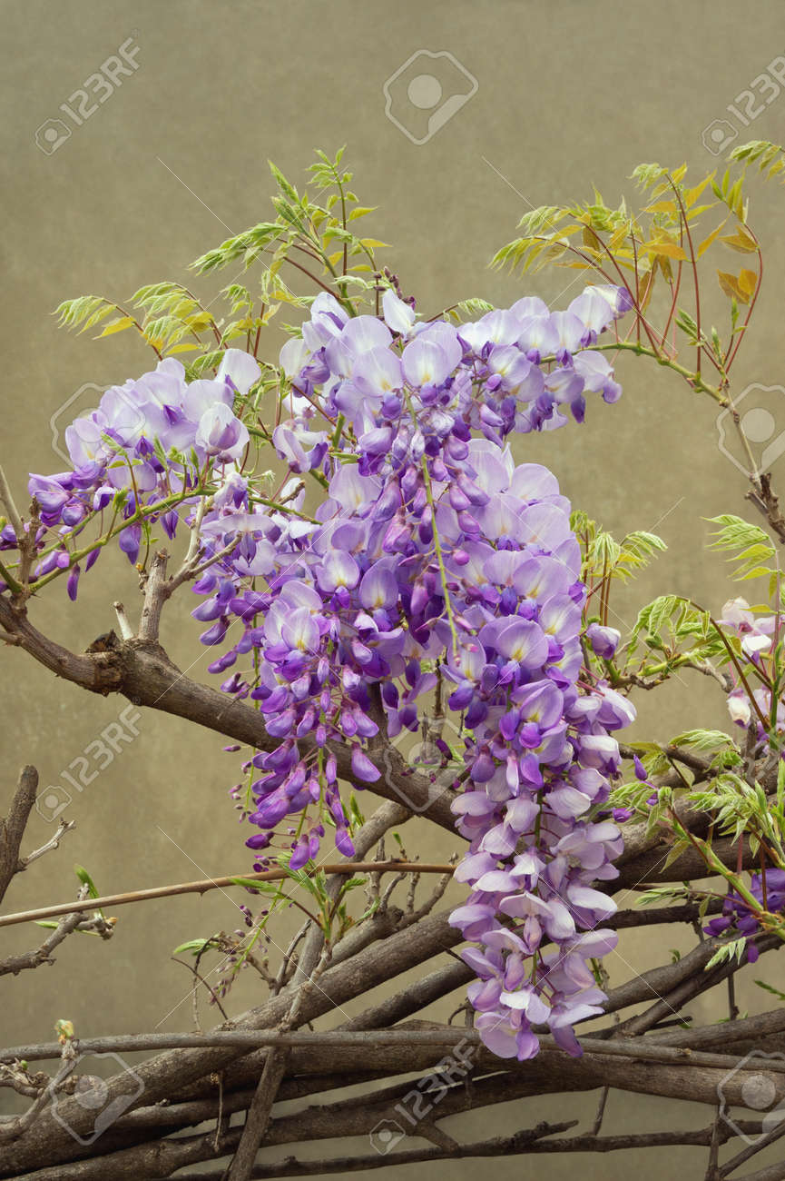 Spring Flowers Blooming Wisteria Vine Stock Photo Picture And
