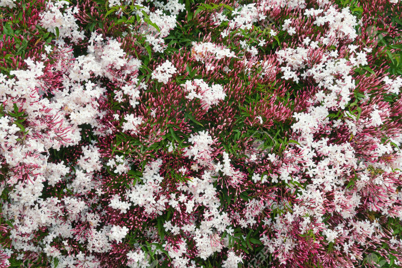 Spring Flowers. Blooming Pink Jasmine Vine ( Jasminum Polyanthum.. Stock  Photo, Picture And Royalty Free Image. Image 121470391.