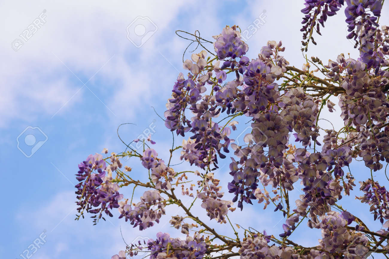 Spring Flowers Blooming Wisteria Vine Against Blue Sky With