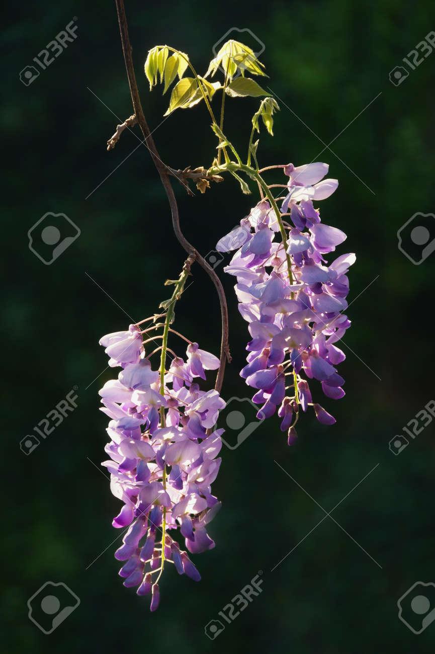 Spring Flowers Blooming Wisteria Vine In Garden On Dark