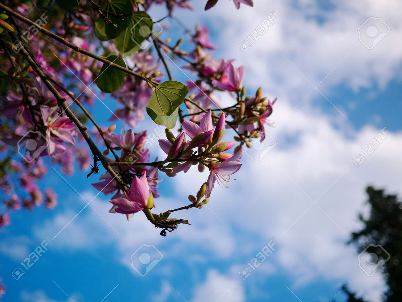 Pink Flower On Acacia Tree With Blue Sky Stock Photo Picture And