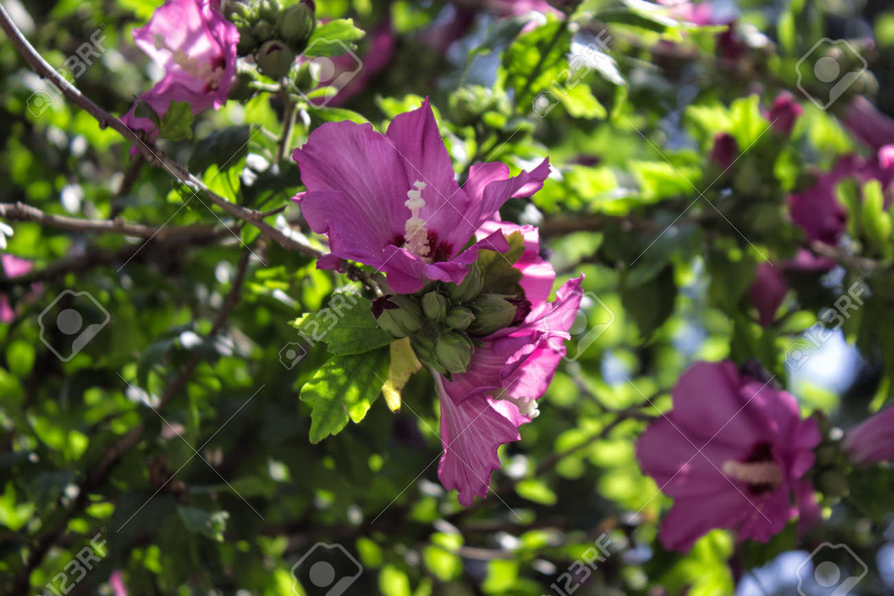 Blooming Rose Of Sharon Hibiscus Syriacus Althea Stock Photo