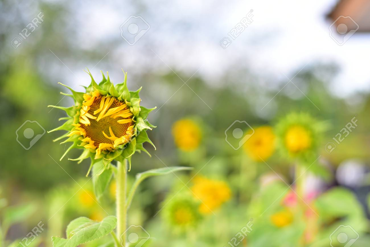 Beautiful sunflowers color flower in thailand asia the seed bearing beautiful sunflowers color flower in thailand asia the seed bearing part of a plant izmirmasajfo