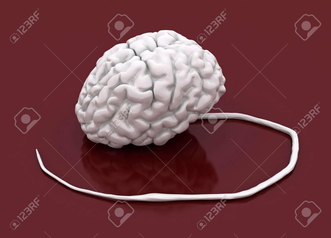 Blanco Humano 3d Cerebro Y La Médula Espinal Modelo Fotos, Retratos ...