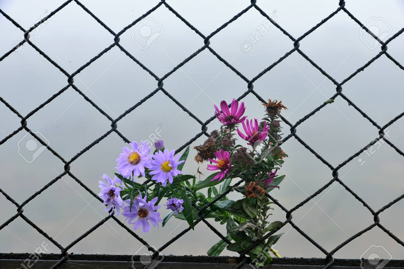 flowers spilled out on wire fence Stock Photo - 23306402