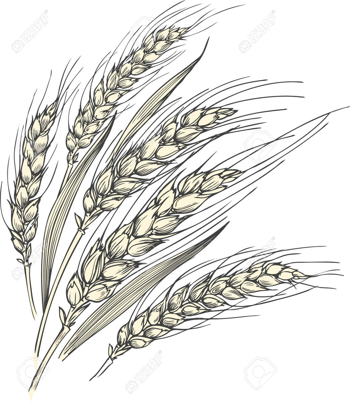 Hand-drawn vector illustration of a few ripe wheat ears with leaves. - 124114317