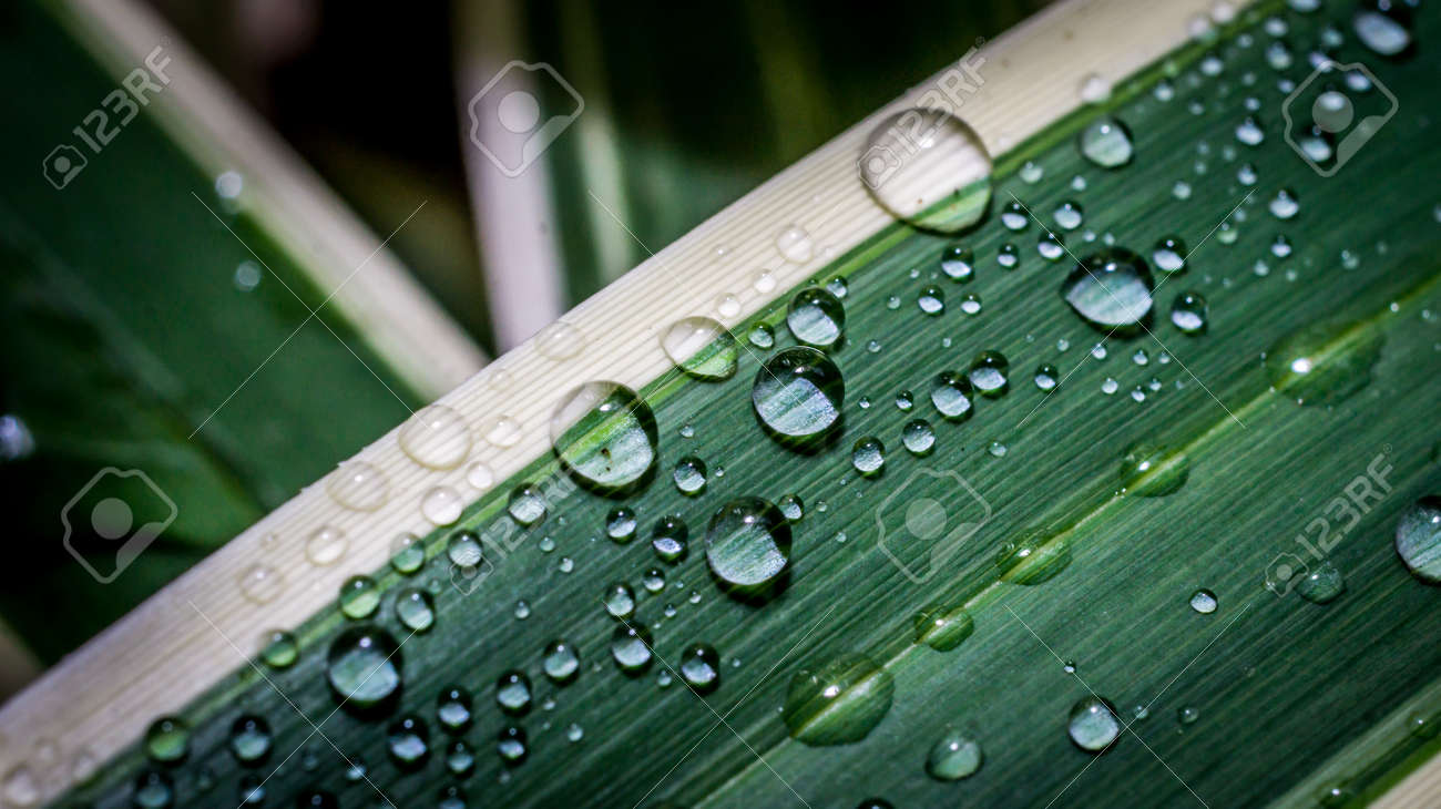 Detail Look Of Water Droplets On The White Stripped Varigata