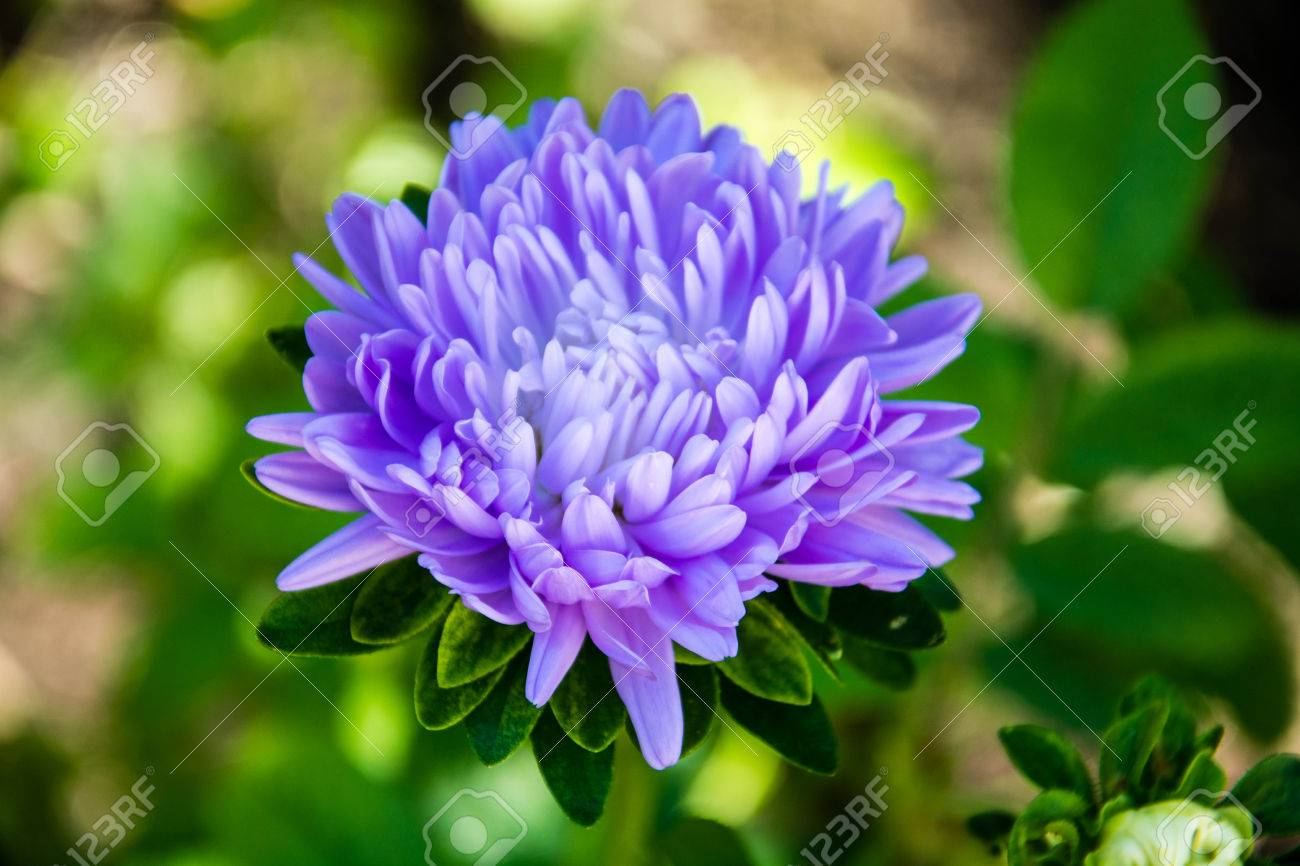 blue aster flower on green background stock photo, picture and, Natural flower