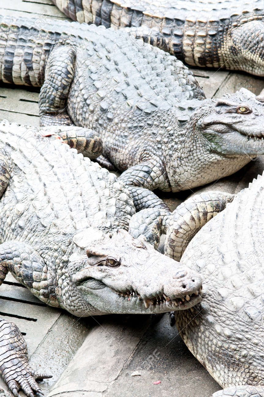 a lot of crocodiles Stock Photo - 10313604