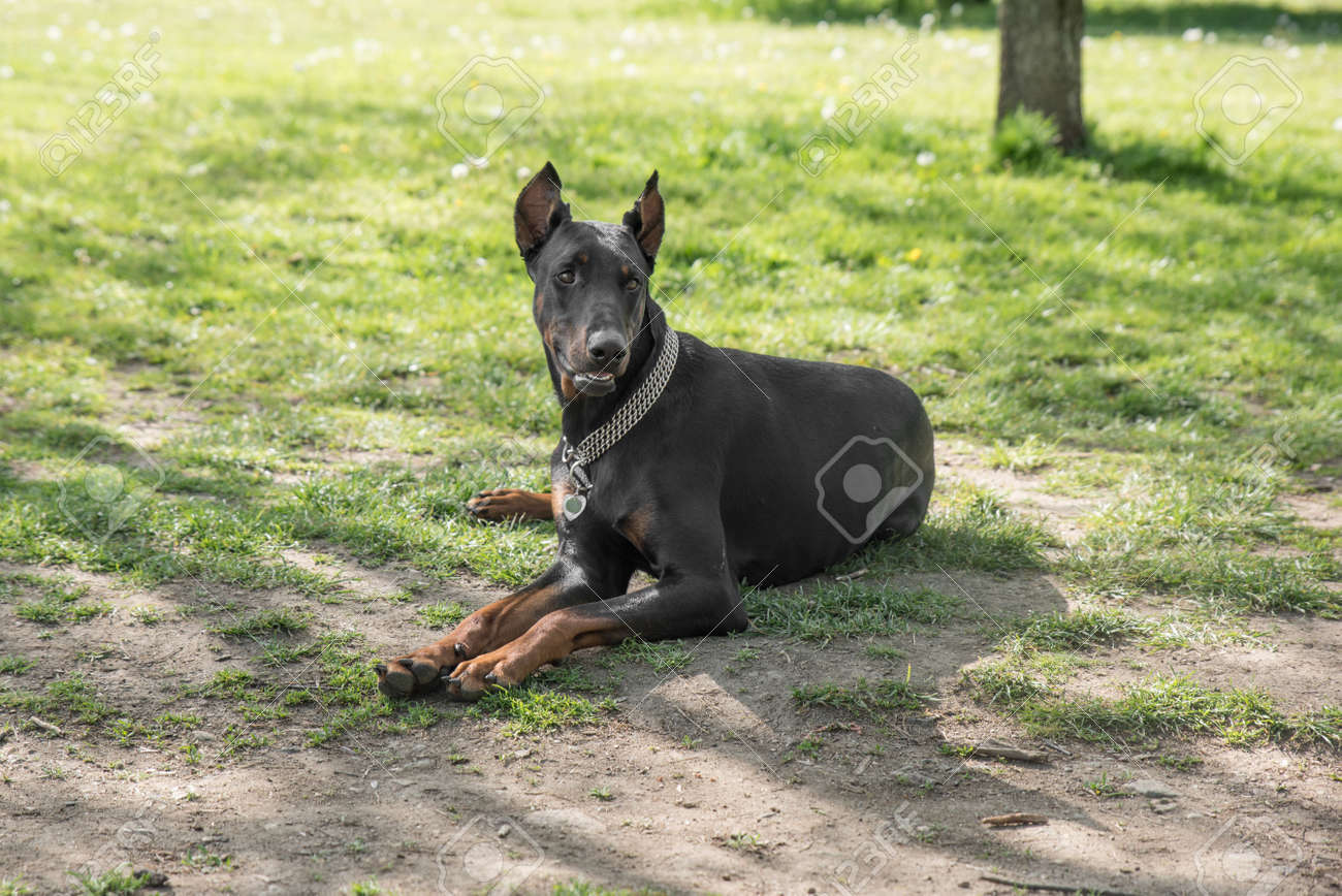 Brown Doberman Pinscher Dog Relaxing On Green Grass Outdoor Stock Photo Picture And Royalty Free Image Image 141048821