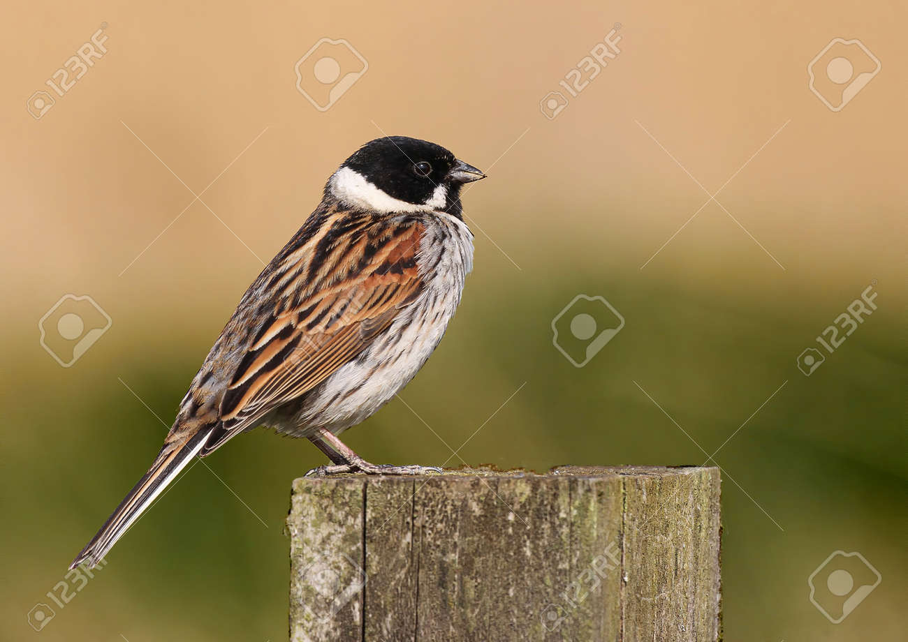 Close Up Of A Common Reed Bunting Emberiza Schoeniclus Perched Stock Photo Picture And Royalty Free Image Image 142363811
