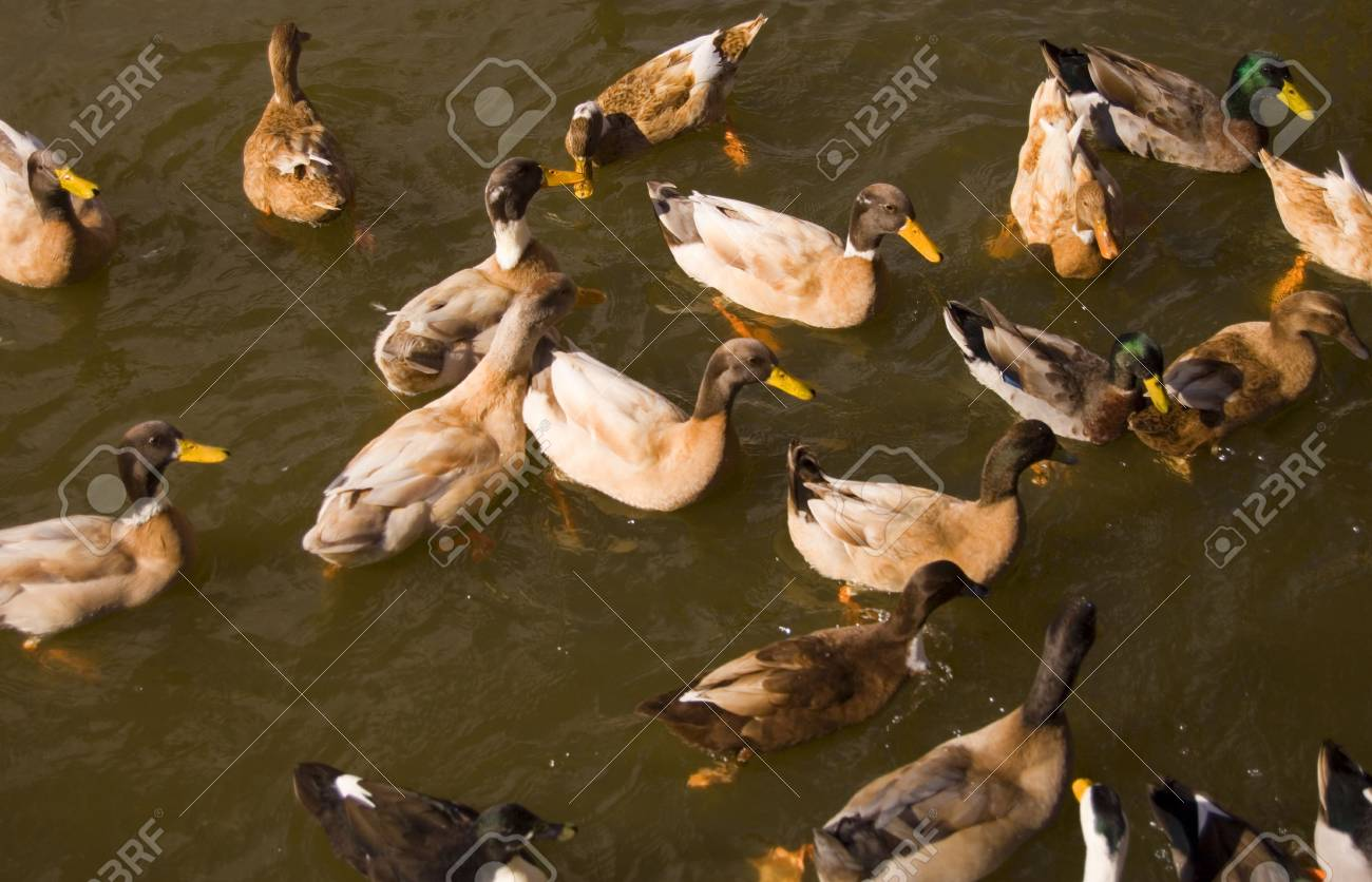 Large group of ducks in water waiting to be fed Stock Photo - 649729