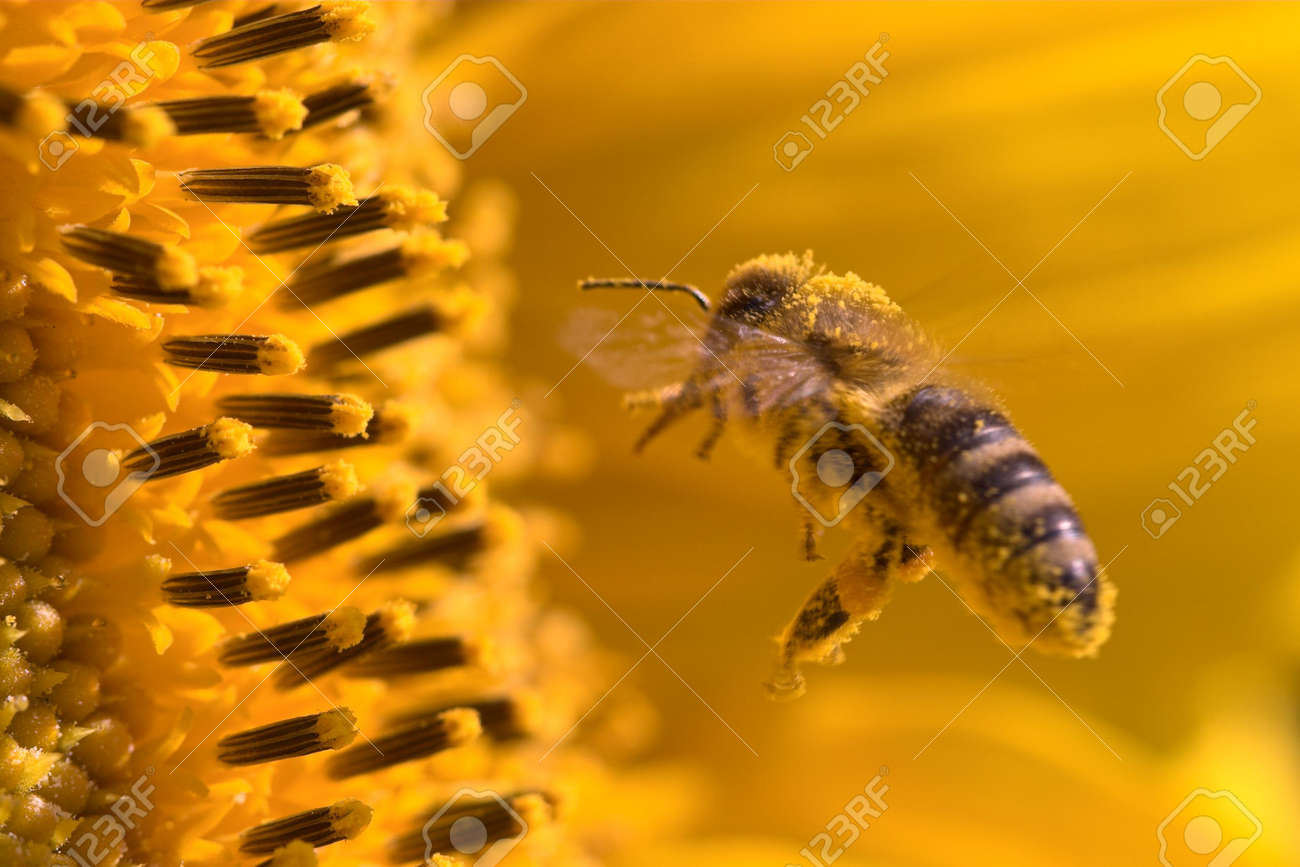 Macro of a honeybee in a sunflower. The bee is full of pollen from the flower. Stock Photo - 877463