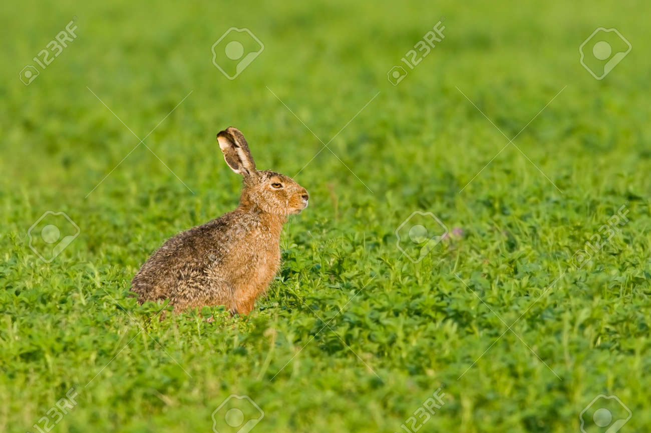 Portrait of a sitting brown hare (lepus europaeus). Stock Photo - 4805073